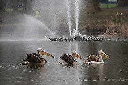 © licensed to London News Pictures. London, UK 26/03/2013. St James's Park welcomes three Great White pelicans as they take up residence in the Royal Park to help maintain a 349-year tradition that attracts millions of visitors to the park every year. Photo credit: Tolga Akmen/LNP