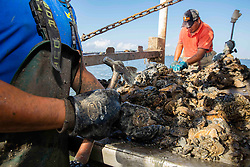 Close-up of fisherman's hands cleaning harvested Eastern Oysters (Crassostrea virginica)  with hatchet on boat in Galveston Bay.