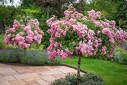 Rosa 'Ballerina' AGM grown as a standard