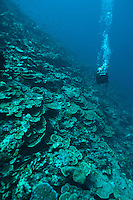 Diver exploring a reef wall, Cendrewasih Bay, West Papua, Indonesia.
