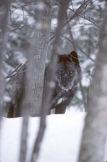 Gray Wolf, (Canis lupus) Subordinate female peers through trees in timber. Mid winter. Captive Animal.