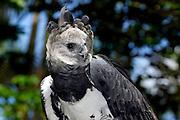 Harpy eagle (Harpia harpyja), Captive animal, Panama Central America