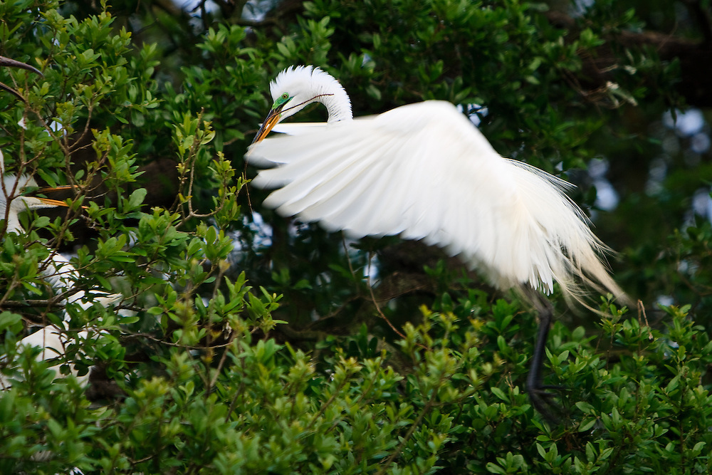 Action image of a wild great egret (Ardea alba) landing at its nest with nesting material clutched in its beak, St. Augustine Alligator Farm Rookery, Anastasia Island, St. Augustine, Florida