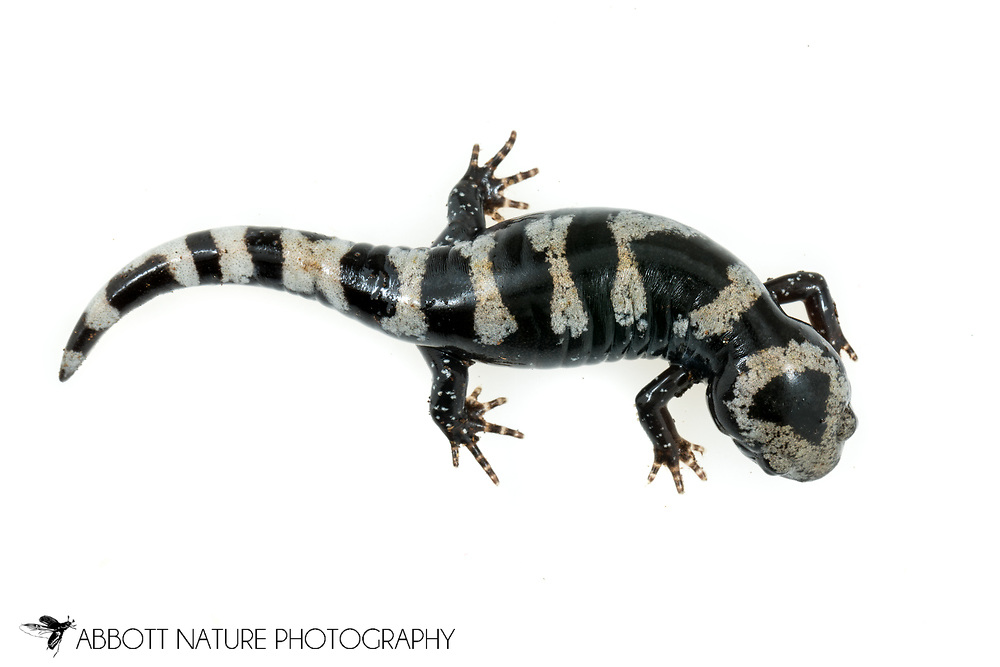 Marbled Salamander (Ambystoma opacum)<br /> United States: Alabama: Tuscaloosa Co.<br /> Tulip Tree Springs off Echola Rd.; Elrod<br /> 21-Jan-2018<br /> J.C. Abbott #3022