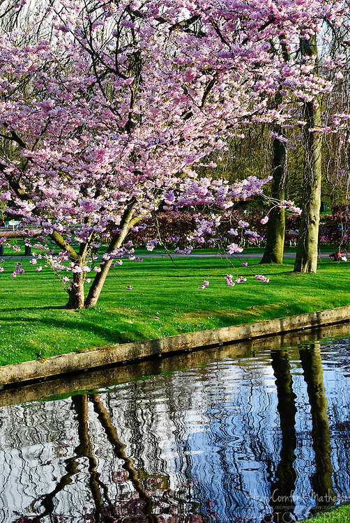 Cherry blossoms at Keukenhof Spring Tulip Gardens, Lisse, The Netherlands.