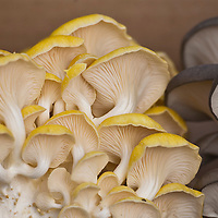 Yellow Oyster Mushrooms (Pleurotus ostreatus)