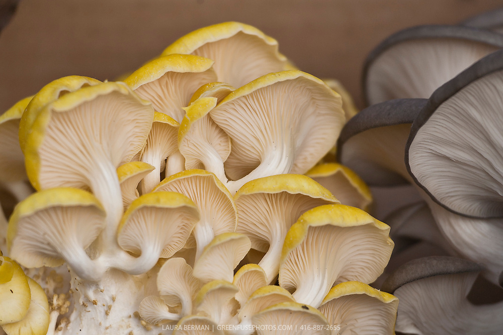 Yellow Oyster Mushrooms (Pleurotus ostreatus)