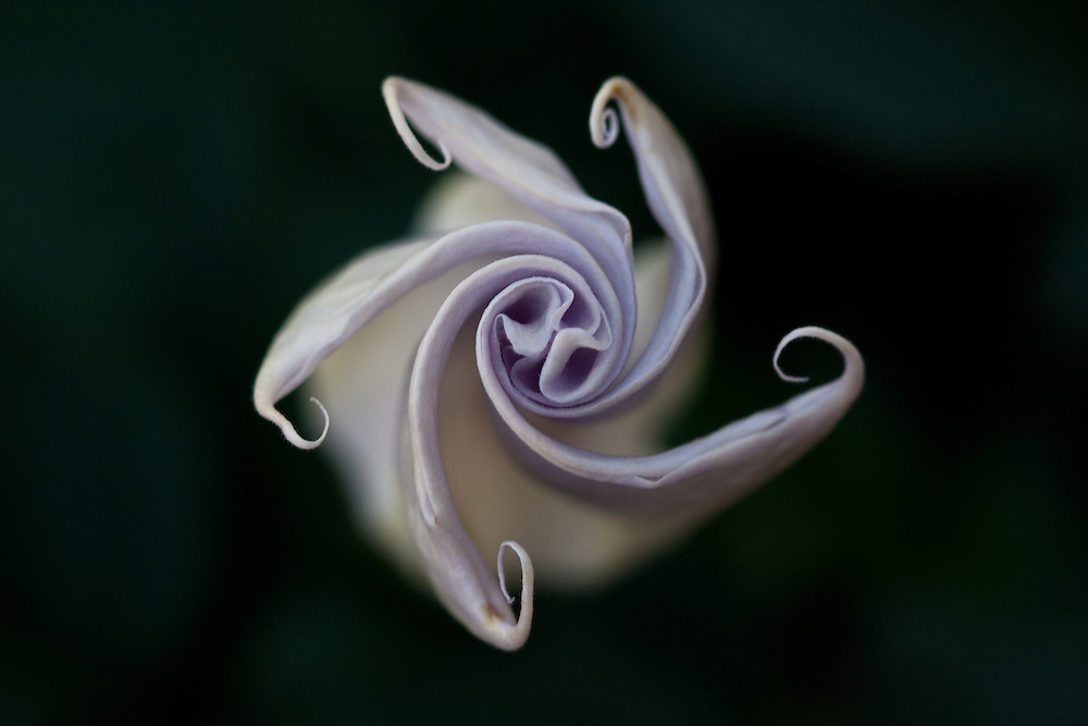 after sunset datura opens its flower, blooms all night and dies before noon next day.