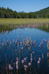"""Wildflowers in the Water 1"" - These wildflowers were flooded by snowmelt at Prosser Reservoir in Truckee, CA."