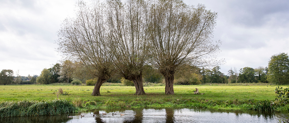 River Stour. group of three English willow trees and mallard ducks in Suffolk Coasts and Heaths Area of Outstanding Natural Beauty, East Bergholt, UK