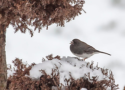 A cold Male Junco bird gland on a dormant winter bush covered with snow, sunflower seed in his beak