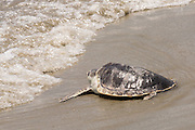 A Kemp's Ridley sea turtle crawls into the waves during the release of rehabilitated sea turtles May 14, 2015 in Isle of Palms, South Carolina. The turtles were rescued along the coast and rehabilitated by the sea turtle hospital at the South Carolina Aquarium in Charleston.