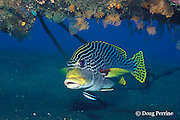 oriental sweetlips, Plectorhinchus vittatus or Plectorhinchus orientalis being cleaned by cleaner wrasse, Labroides dimidiatus, Bali, Indonesia