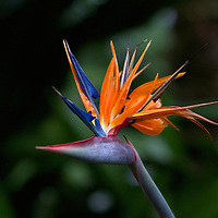 Strelitzia or commonly known as the bird of paradise flower or plant is native to South Africa.  In South Africa the bird of paradise flower is known as the crane flower.
