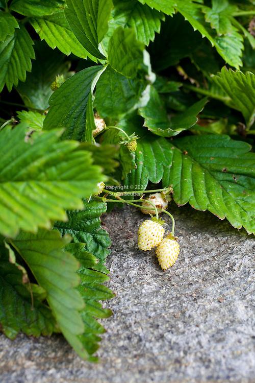 "Fragaria vesca ""Alpine Yellow"".Yellowy white strawberries in the vegetable garden"