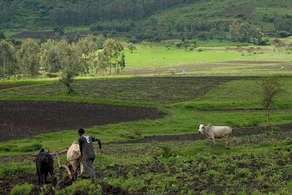 Labour avec charrue et bœufs dans la région d'Ambo. Les agriculteurs locaux regroupés en coopérative se partagent l'ensemble des travaux agricoles. Éthiopie août 2011.