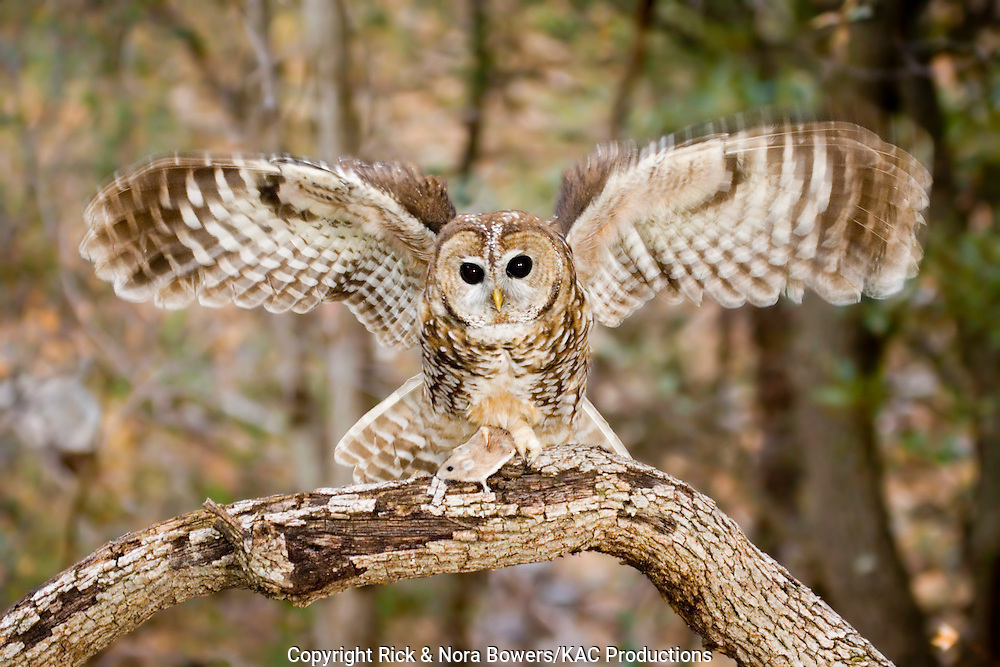 Spotted Owl .Strix occidentalis.Huachuca Mountains, Cochise County, ARIZONA, United States.24 February     Adult with wings spread taking mouse.      Strigidae