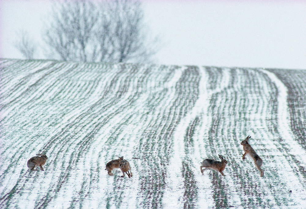 Courting brown hares