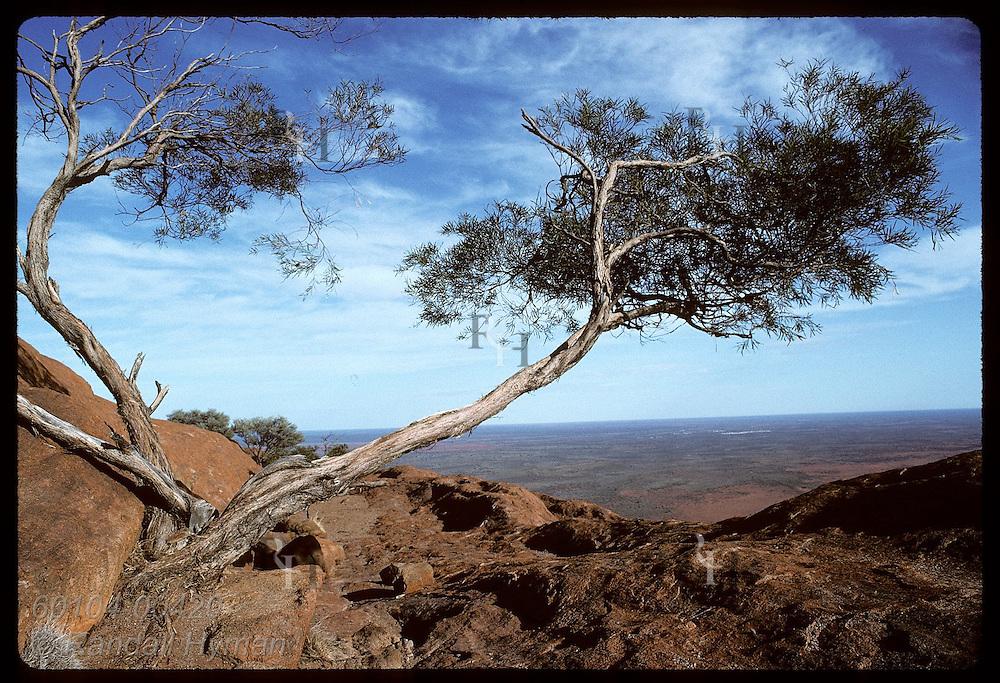 Desert oak near summit of Ayers Rock grows from cranny in rocks; Uluru National Park. Australia
