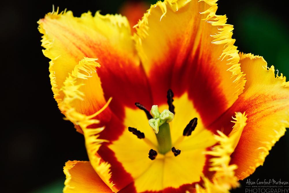 Fringed Tulip 'Palmares' Keukenhof Spring Tulip Gardens, Lisse, The Netherlands.