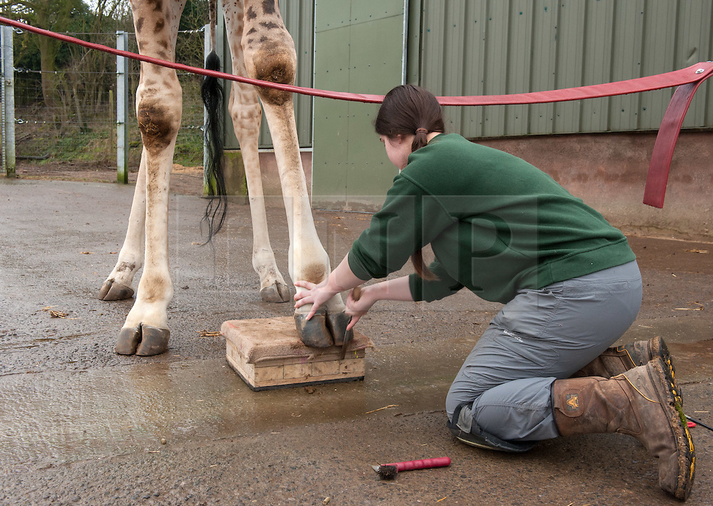 """© Licensed to London News Pictures. 15/02/2017. Wraxall, North Somerset, UK. Celebrity giraffe Gerald gets special foot care, having his own pedicures at Noah's Ark Zoo Farm, Senior Giraffe Keeper Emma Green doing the pedicure and Giraffe Keeper Laura Burgess entertaining Gerald. The giraffe is known for his unlikely bachelor friendship with Eddie the goat and his international quest for love. Gerald's keepers began the foot care routine to treat small cracks in his front hooves to prevent future problems from developing. Using a special training technique based on the close bond with his keeper, Gerald was taught how to present his front feet on a pad for him and allow his keepers to work on his hooves. After just a month's training Gerald now presents both feet on request, knowing the difference between his left and right. He is given a clean, trim and file on both hooves which stops cracks developing and removes any over-growth which would affect his joints when walking if left untended. The 100 acre animal park has a family of four giraffes, 12 year old Gerald, 8 year old Genny and brothers 4 year old George and Geoffrey, 2. Gerald was one of the first 'big zoo' animals to arrive at the zoo, joining Noah's Ark in 2006. Africa Section Head Emma Green carried out Gerald's training and comments: """"Gerald is a visitor favourite at Noah's Ark and I've worked closely with him for 5 years. He's learnt this foot care routine quickly and is very relaxed, allowing us to work closely with him. From his good example we're now planning on doing the same with the rest of the giraffe family."""" Photo credit : Simon Chapman/LNP"""