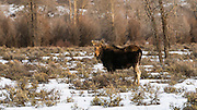Female moose (cow) in winter, Grand Teton National Park, Wyoming USA