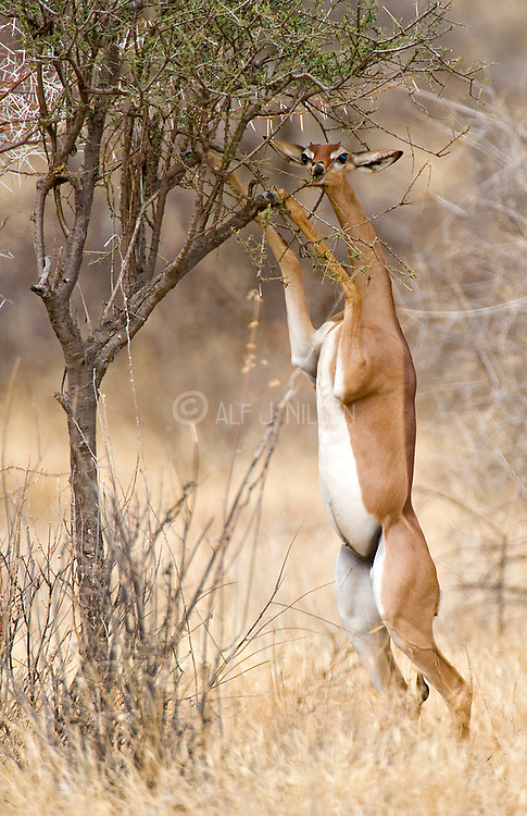 Gerenuk, Litocranius walleri, from Samburu NP, Kenya.