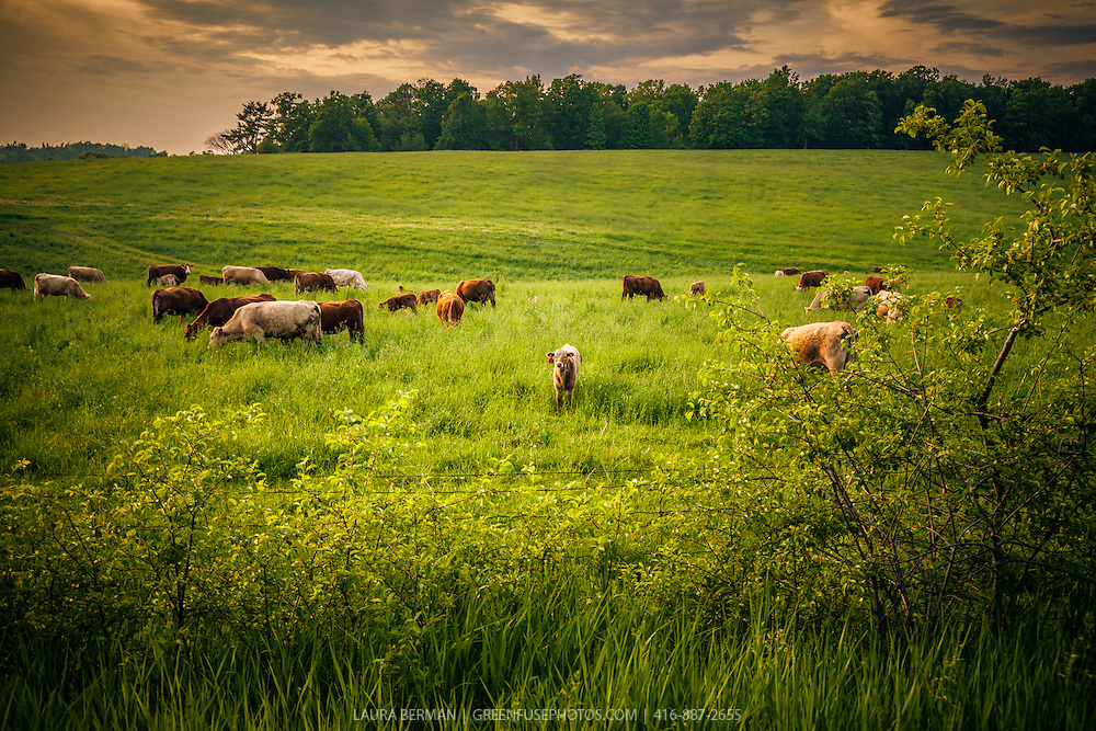 A herd of cattle grazing in a grassy field late in the day.