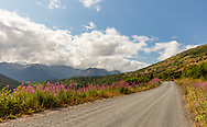 Fireweed (Epilobium angustifolium) lines the road in Palmer Creek Valley in Southcentral Alaska. Summer. Afternoon.