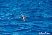 brown booby, Sula leucogaster, flying low, following a school of fish, Vava'u, Kingdom of Tonga, South Pacific