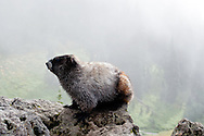 A Hoary Marmot (Marmota caligata) in Paradise Valley, Mount Rainier National Park, Washington.