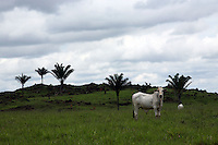 A cow grazes in a field near Marcelândia, in Mato Grosso state, in Brazil on April 6, 2008. The growth of the soybean and cattle business in Mato Grosso state came at the expense of the dense forests that at one time were prevalent in the region. (Photo/Scott Dalton).