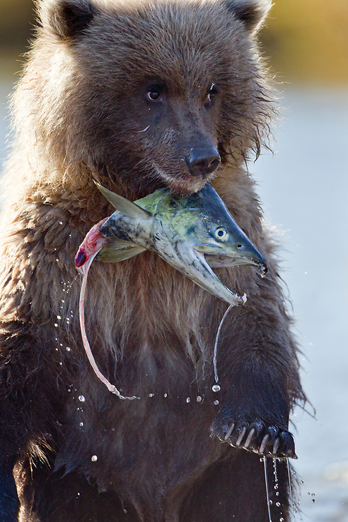 USA, Alaska, Katmai National Park, Grizzly Bear Cub(Ursus arctos) stands upright while holding onto salmon head in spawning stream by Kinak Bay