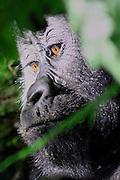 Wie de laatste in het wildlevende hoogland gorilla's wil zien, moet on Oeganda of in Rwanda zijn.