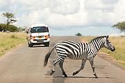 Zebra walking across a road, Kenya
