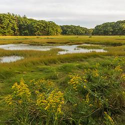 Goldenrod blooms next to a salt marsh along the Castle Neck River in Ipswich, Massachusetts.