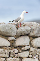 A Hartlaubs gull perches on the stone wall on Malgas Island, West Coast National Park, Western Cape, South Africa