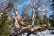 "Broken trees. Backpack to Big Sandy Lake Campground (11 miles round trip with 1000 feet gain). Day hike from Big Sandy Lake to Clear Lake and Deep Lake below East Temple Peak then loop back via Temple Lake, Miller Lake, and Rapid Lake (7.5 miles, 1060 ft gain) on the Continental Divide Trail. Wind River Range, Bridger-Teton National Forest, Rocky Mountains, Wyoming, USA. The Continental Divide follows the crest of the ""Winds"". Mostly composed of granite batholiths formed deep within the earth over 1 billion years ago, the Wind River Range is one of the oldest mountain ranges in North America. These granite monoliths were uplifted, exposed by erosion, then carved by glaciers 500,000 years ago to form cirques and U-shaped valleys."