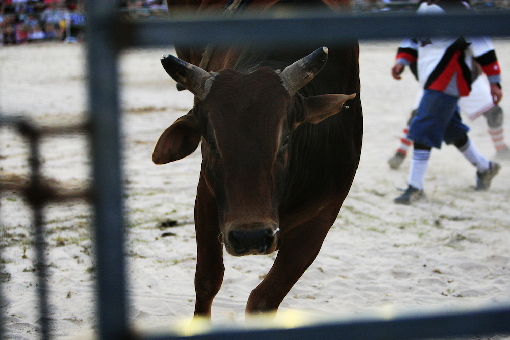 A bull heads for the gate after its ride at the National Bullriding Championships at Penrith Paceway , Sydney , Australia.