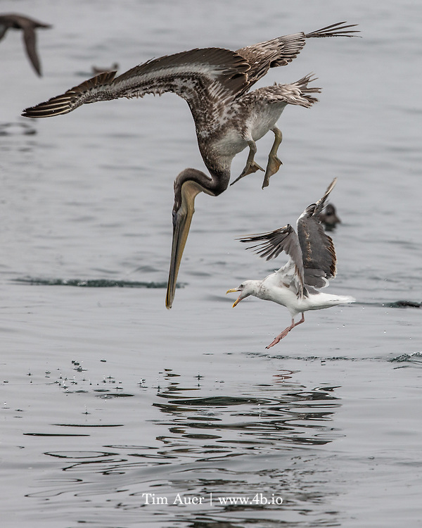 A brown Pelican, harassed by a seagull, dives into the water in Monterey Bay, California