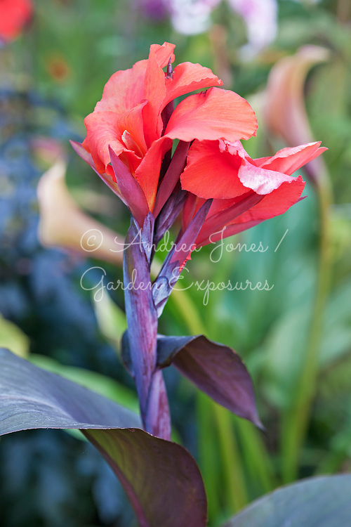 Canna cv (Indian shot plant)