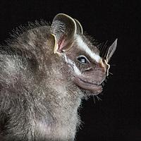 Tent-making Bat, Uroderma bilobatum, in Cocobolo Nature Reserve, Panama