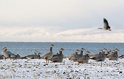 Bar-headed geese rest on an island on the Qinghai Lake in northwest China's Qinghai Province, April 15, 2016. Qinghai Lake, covering 4,400 square kilometers, is China's largest inland salt lake. EXPA Pictures © 2016, PhotoCredit: EXPA/ Photoshot/ Xing Zhi<br /> <br /> *****ATTENTION - for AUT, SLO, CRO, SRB, BIH, MAZ, SUI only*****