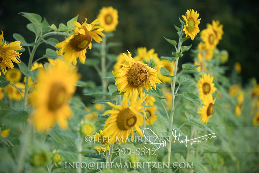 A field of sunflowers grow in a row in a field.