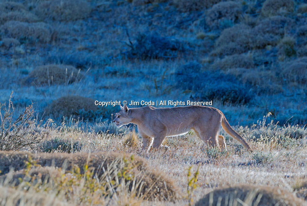 A puma paces through the open terrain they live in through most of Torres del Paine National Park.