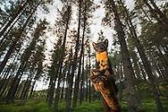 Pine marten (martes martes) foraging in woodland, Scotland.