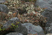 The Northern Pika (Ochotona hyperborea) is only found in one place in the whole of Japan: in Daisetsuzan National Park in Hokkaido, where is remains as a trace of when Hokkaido was attached to Russia.