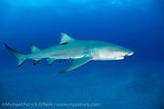 A Lemon Shark, Negaprion brevirostris, swims offshore Jupiter, FL.