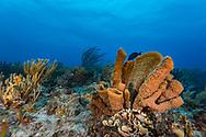 Pipe sponge and reef- Eponge tubulaire et recif (Porifera), Playa del carmen, Yucatan peninsula, Mexico.
