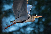 Escaping Grey Heron with blue background | Gråhegre i flukt på blå bakgrunn